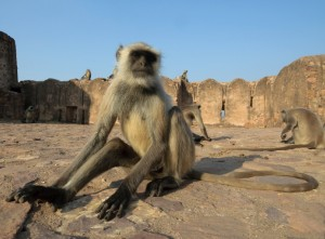 A monkey in Ranthambore National Park