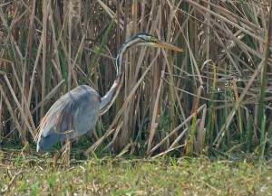 Purple Heron at Sultanpur Bird Sanctuary.
