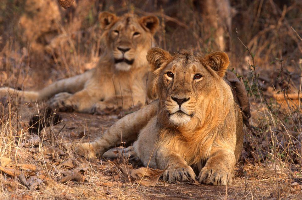 Lions in Gir National Park