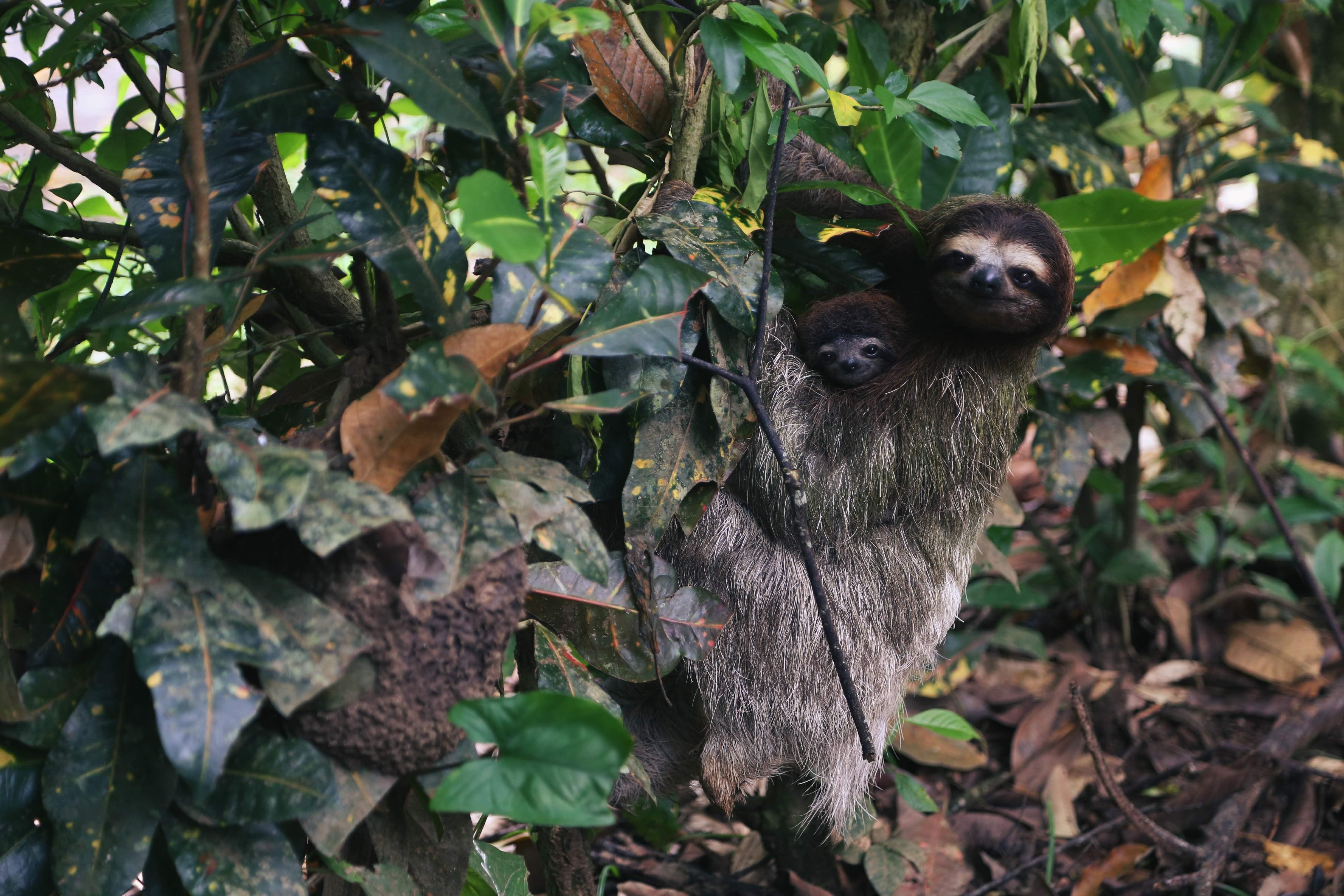 Sloth-Bears