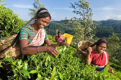 Picking tea leaves in Nuwara Eliya, Sri Lanka