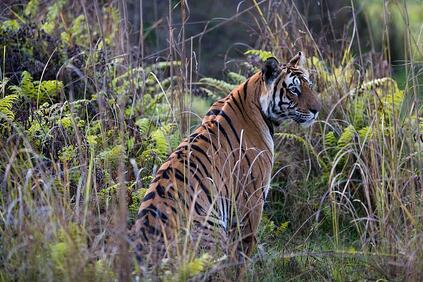 A tiger sighting in Pench National Park