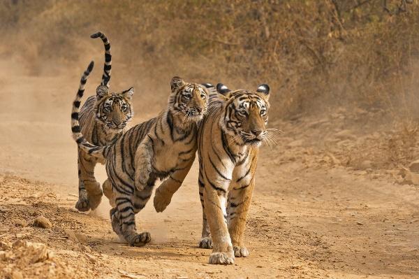 Tigers2-1