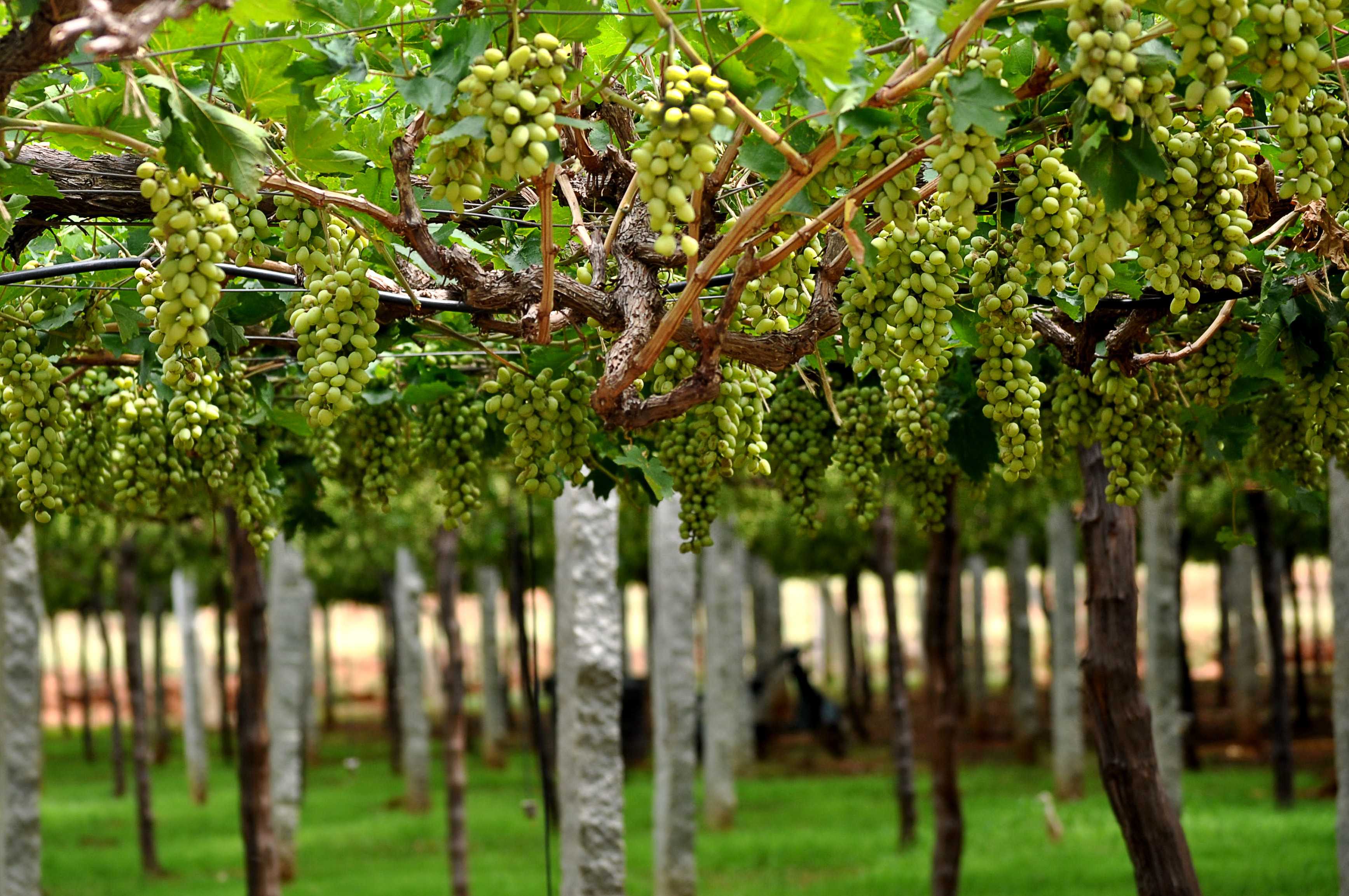 Vineyards of India