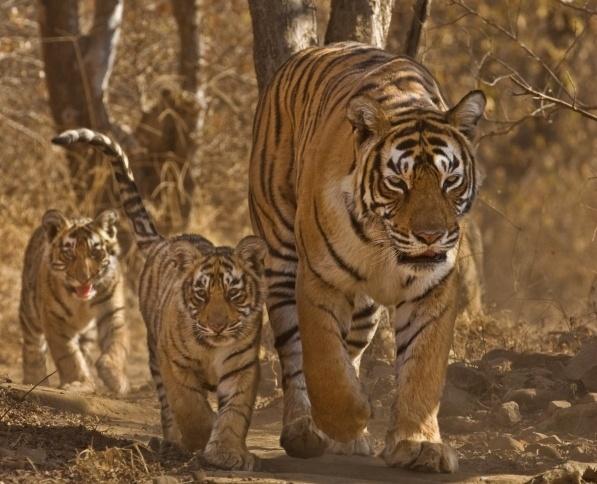 Ranthambore Tiger-990013-edited.jpg