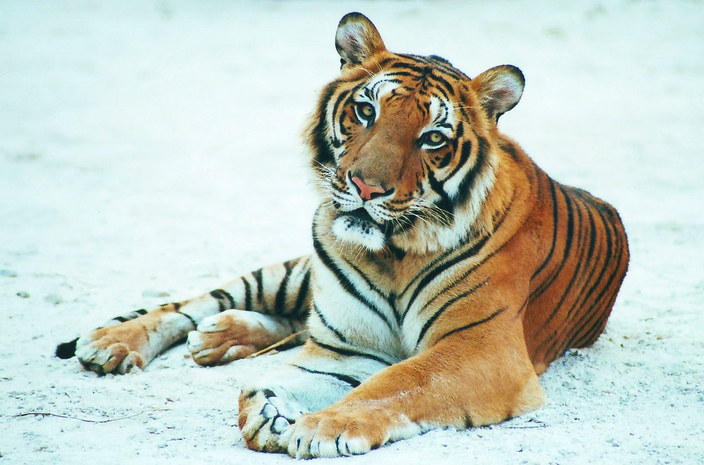 Where are the Tigers in Thailand?